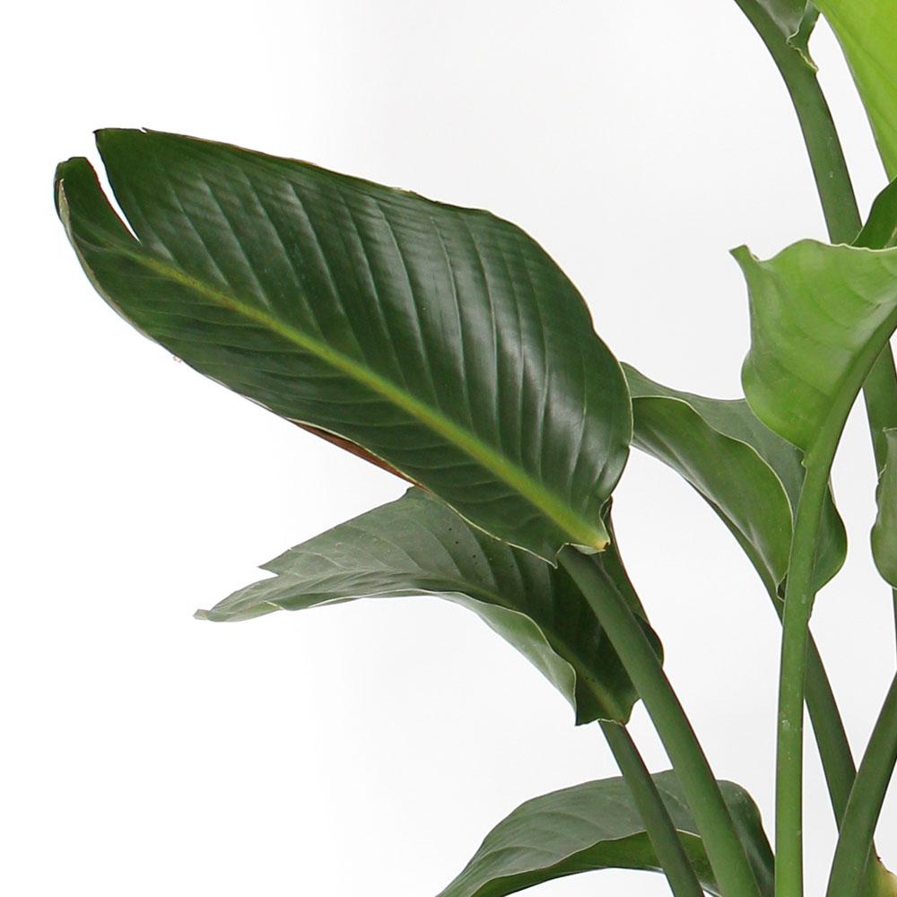 観葉植物「オーガスタ10号 ラッピング」