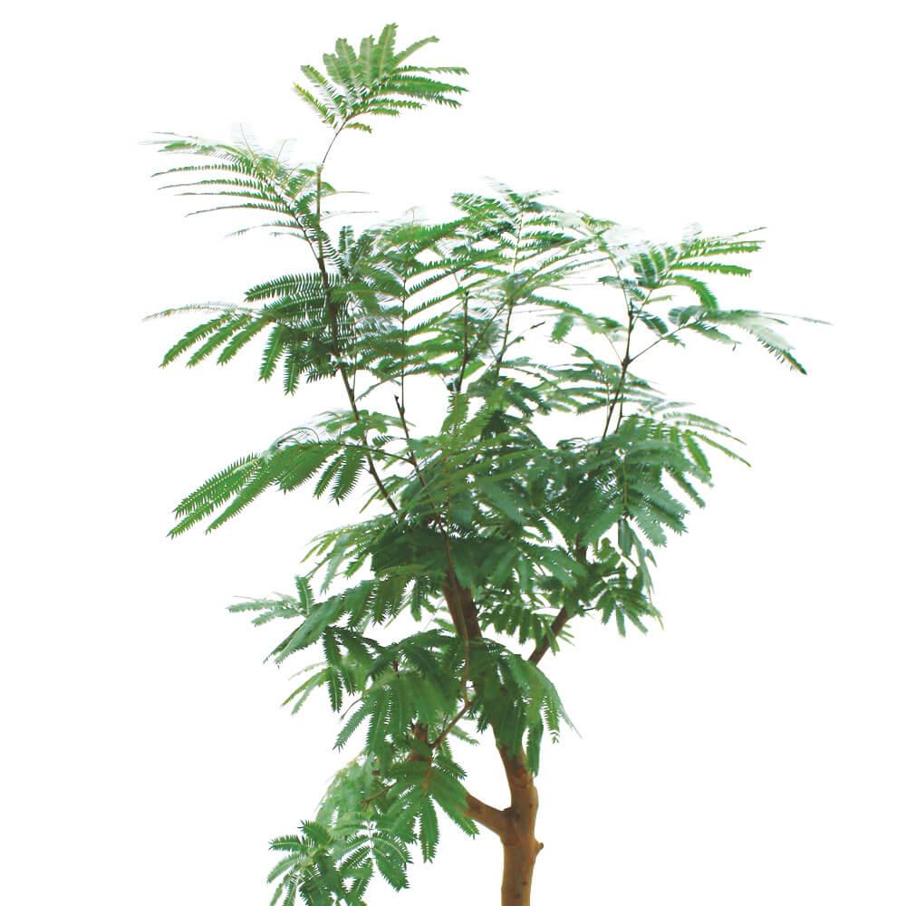 観葉植物「エバーフレッシュ10号 バスケット」