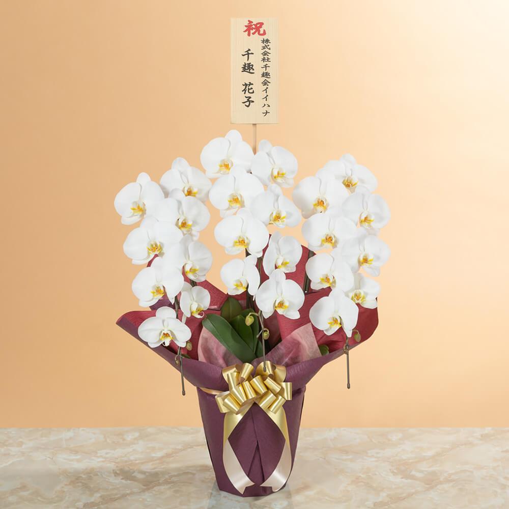 鉢植え「大輪胡蝶蘭3本立ち(白)〜スタンダードクラス〜」
