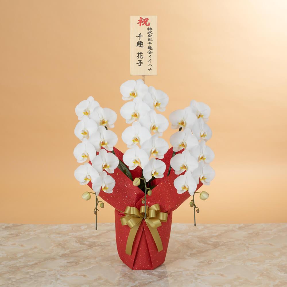 鉢植え「大輪胡蝶蘭3本立ち(白)〜スペシャルクラス〜」