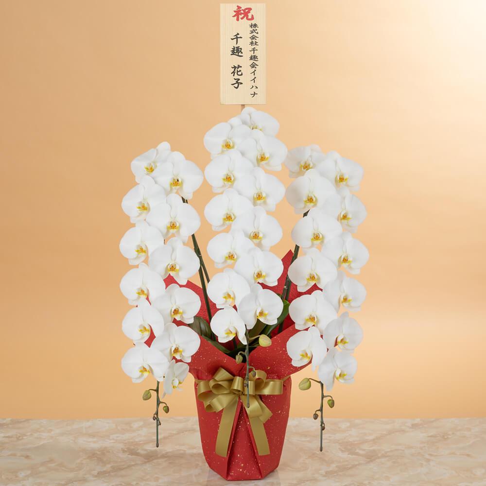 鉢植え「大輪胡蝶蘭3本立ち(白)〜プレミアムクラス〜」