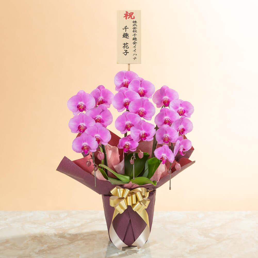 鉢植え「大輪胡蝶蘭3本立ち(ピンク)〜スタンダードクラス〜」