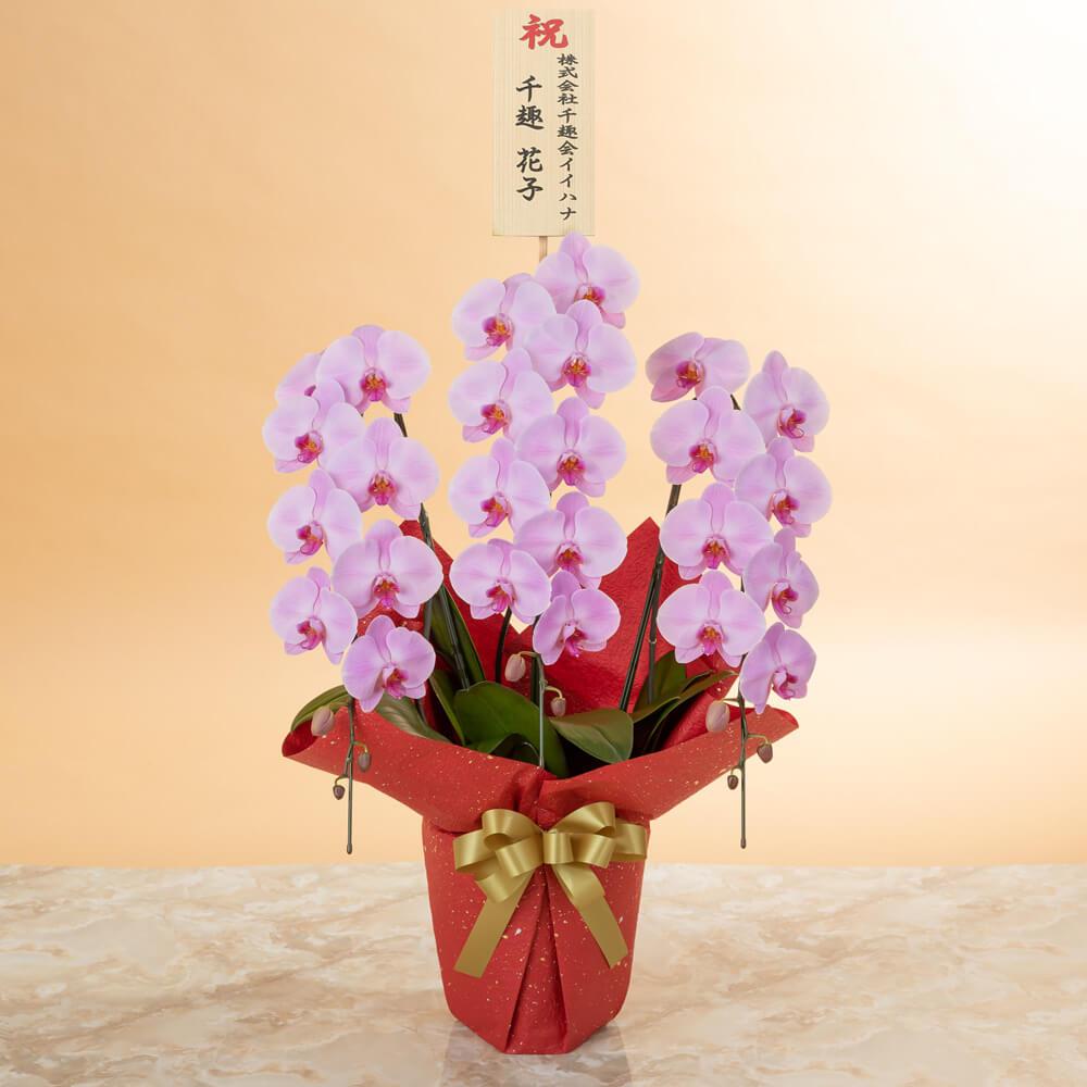鉢植え「大輪胡蝶蘭3本立ち(ピンク)〜スペシャルクラス〜」