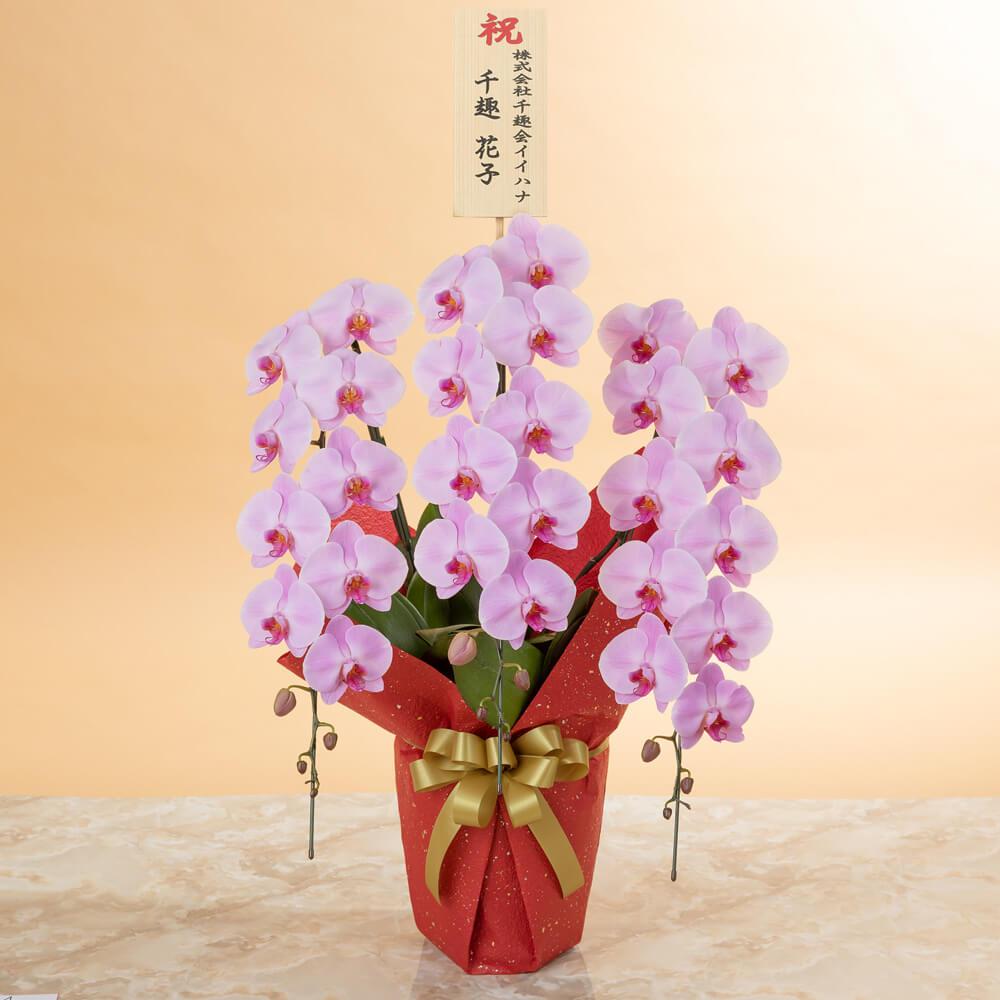 鉢植え「大輪胡蝶蘭3本立ち(ピンク)〜プレミアムクラス〜」