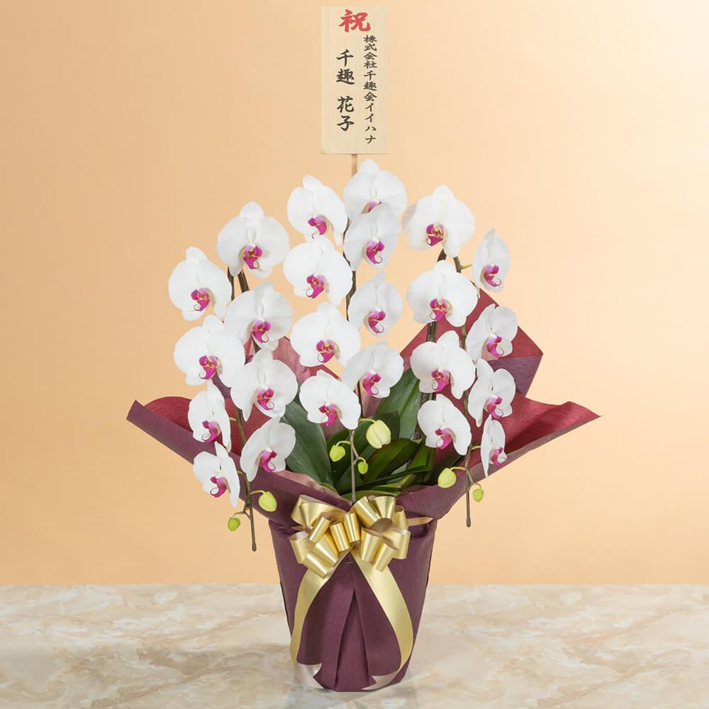 鉢植え「大輪胡蝶蘭3本立ち(赤リップ)〜スタンダードクラス〜」