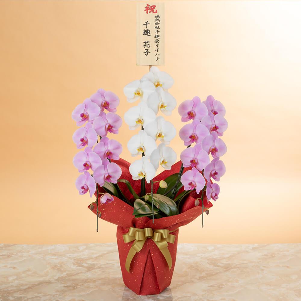 鉢植え「大輪胡蝶蘭3本立ち(紅白)〜スペシャルクラス〜」