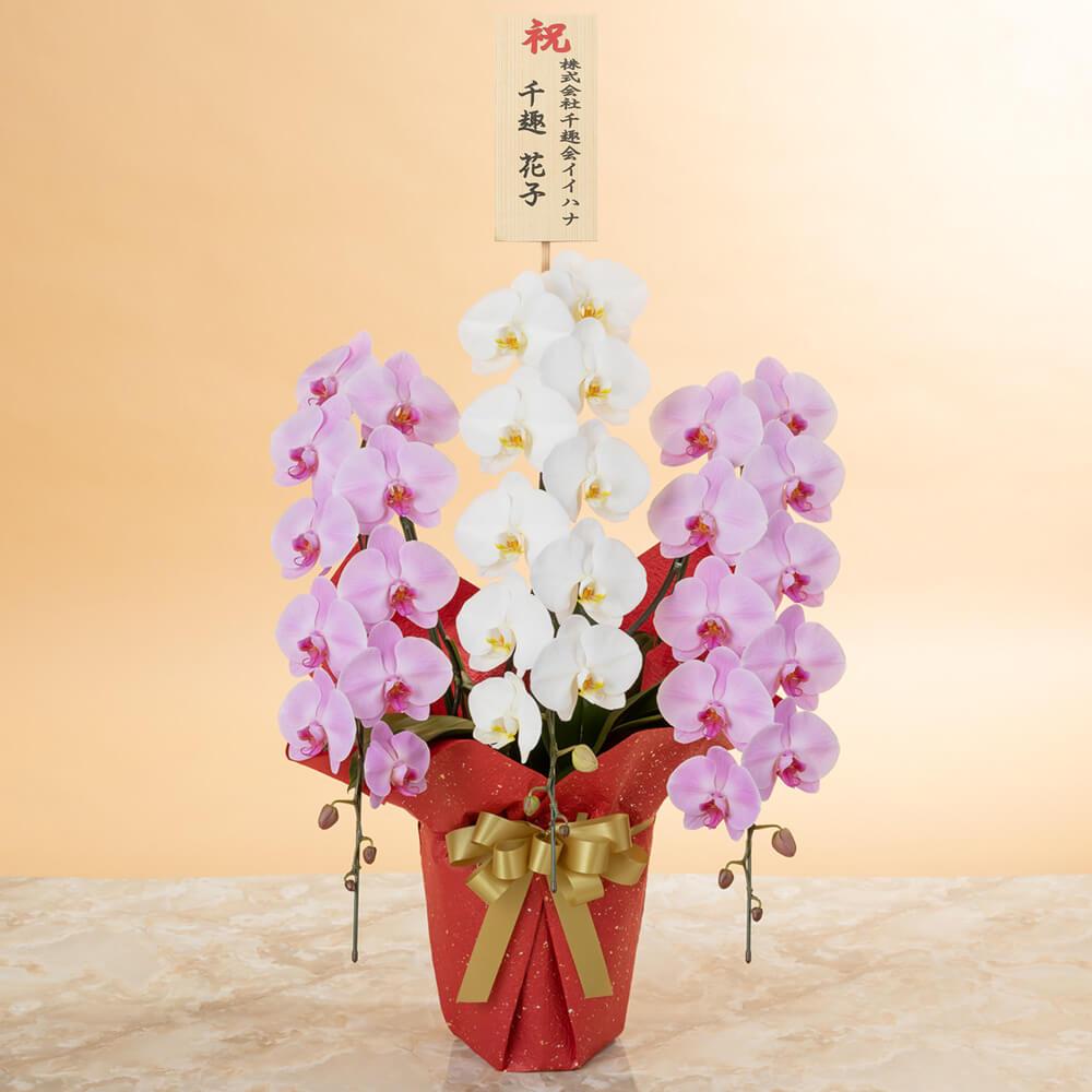 鉢植え「大輪胡蝶蘭3本立ち(紅白)〜プレミアムクラス〜」