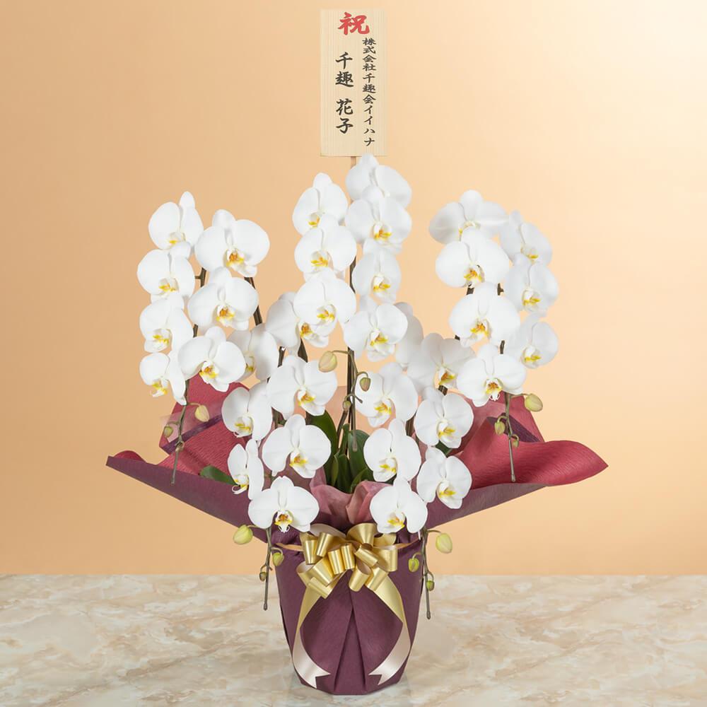 鉢植え「大輪胡蝶蘭5本立ち(白)〜スタンダードクラス〜」