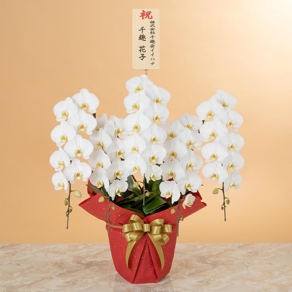 鉢植え「大輪胡蝶蘭5本立ち(白)〜スペシャルクラス〜」