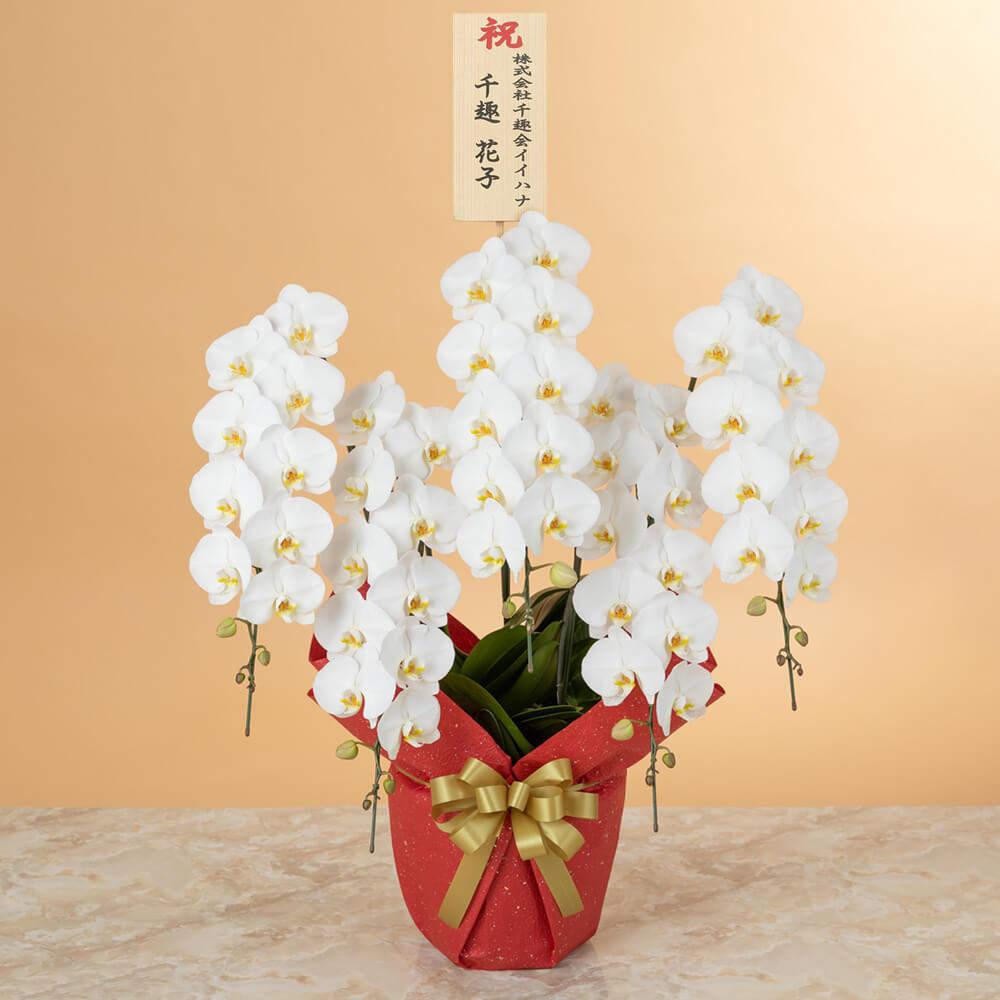 鉢植え「大輪胡蝶蘭5本立ち(白)〜プレミアムクラス〜」