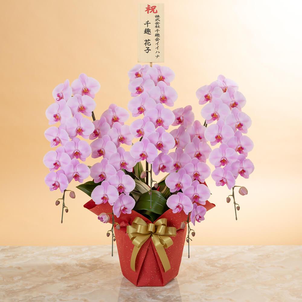 鉢植え「大輪胡蝶蘭5本立ち(ピンク)〜プレミアムクラス〜」