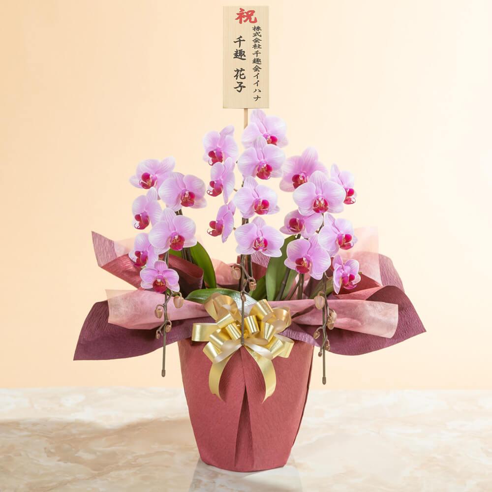 鉢植え「ミディー胡蝶蘭3本立ち(赤リップ)」