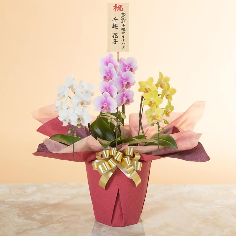 鉢植え「ミディー胡蝶蘭3本立ち(ミックス)」