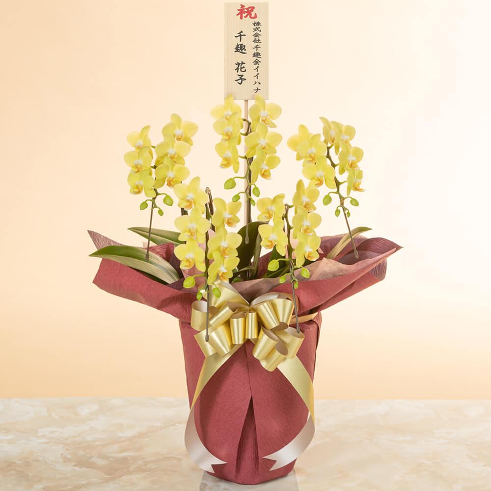 鉢植え「ミディー胡蝶蘭5本立ち(黄色)」
