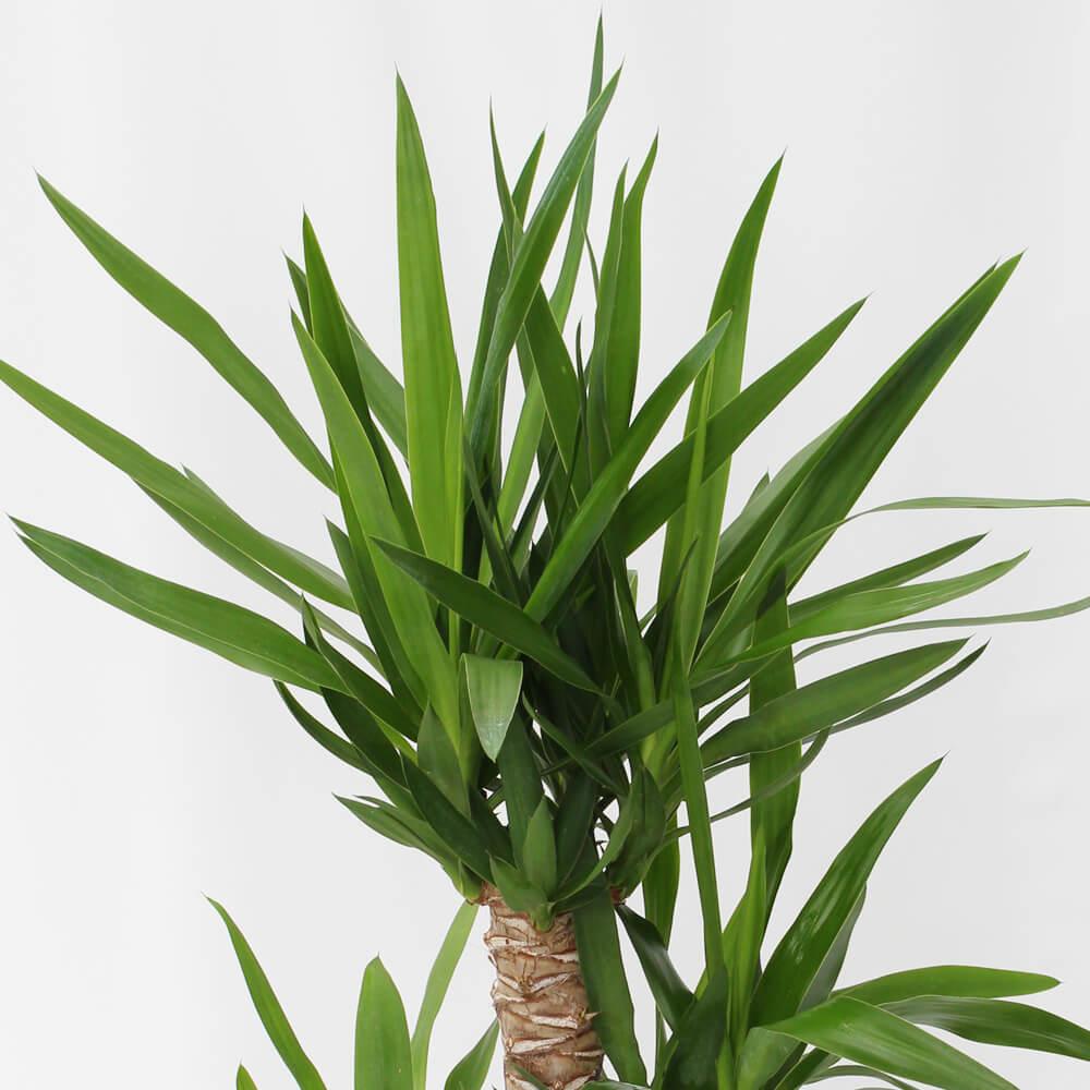 観葉植物「ドラセナ・ユッカ8号 バスケット」