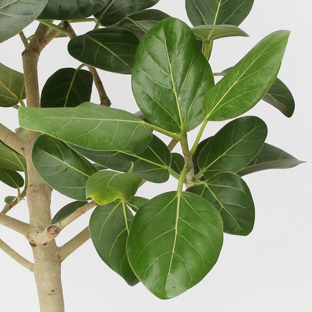 観葉植物「フィカス・ベンガレンシス8号 バスケット」