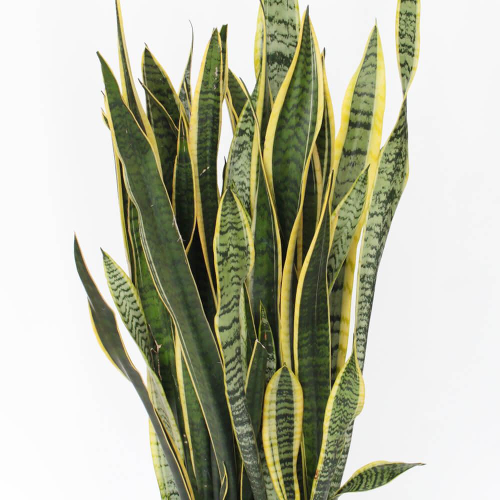 観葉植物「サンスベリア8号 陶器鉢」