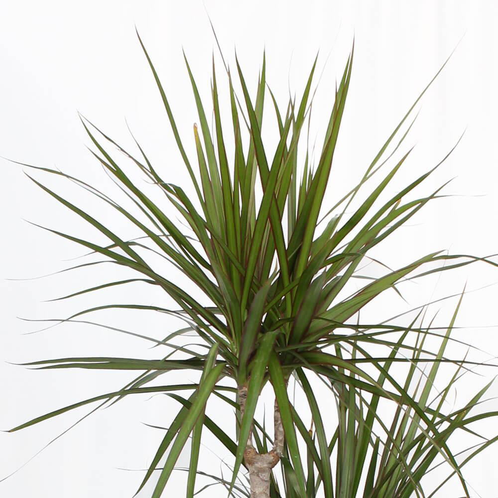観葉植物「ドラセナ・コンシンネ8号 陶器鉢」