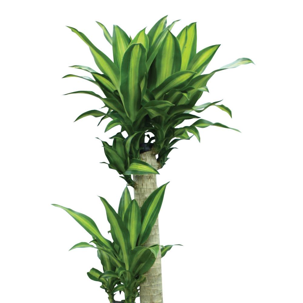 観葉植物「ドラセナ・マッサンゲアナ10号 バスケット」