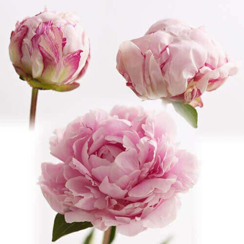 母の日 花束「芍薬美人〜桜色重ね〜」