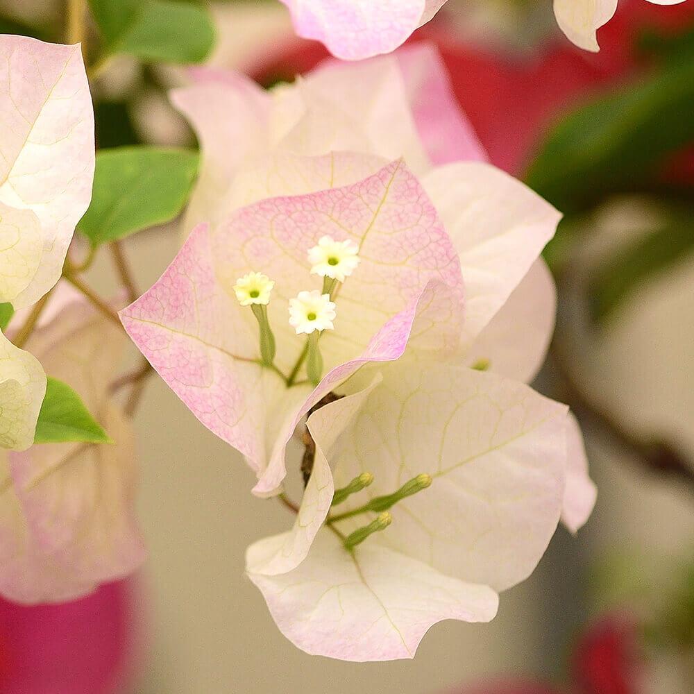 EX鉢植え「ブーゲンビリア ブライダルピンク」