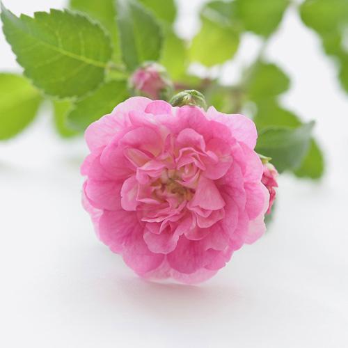 鉢植え「四季咲きバラ スノーシャワー&ハッピートレイルズ」