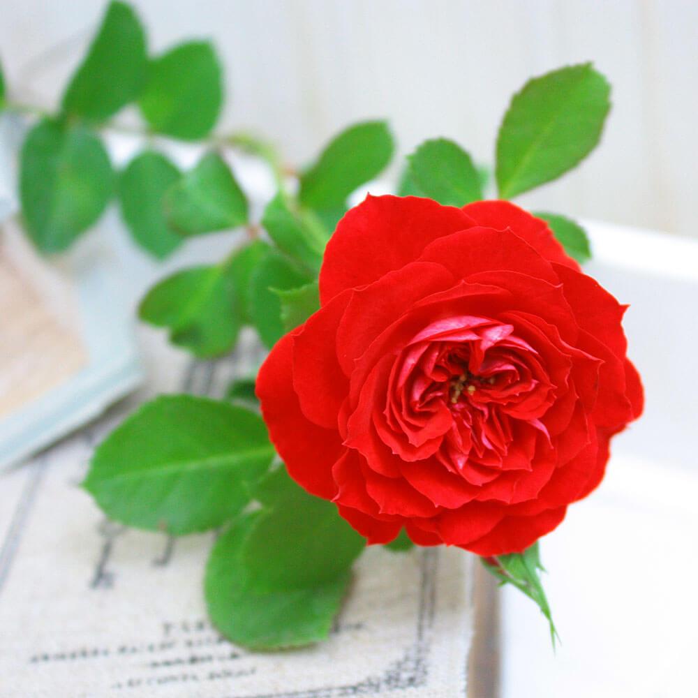 バラ鉢植え「スカーレットオベーション」