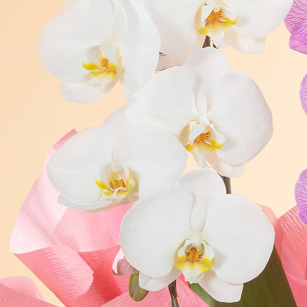 鉢植え「大輪胡蝶蘭2本立ち(ミックス)」