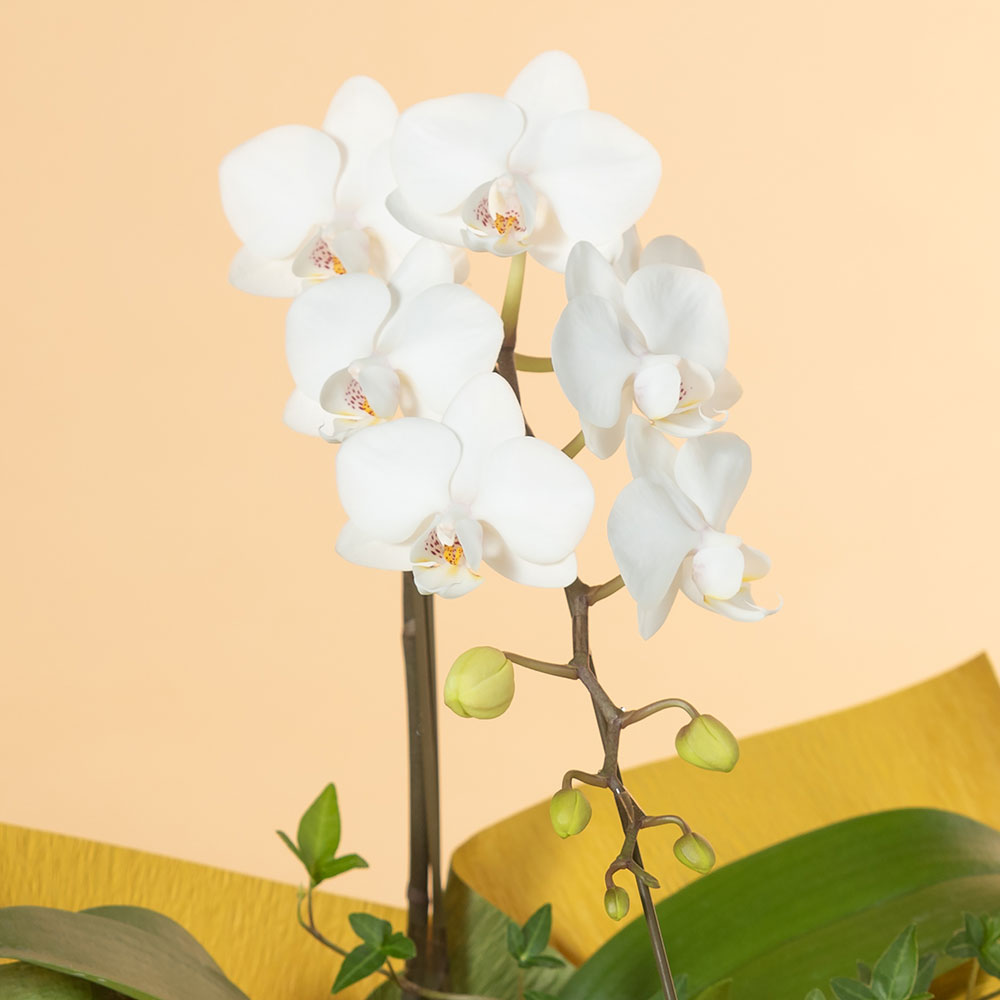 鉢植え「ミディー胡蝶蘭1本立ち(白)」