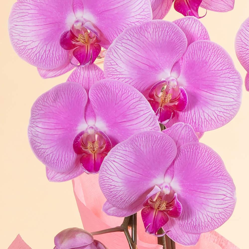 鉢植え「大輪胡蝶蘭7本立ち(ピンク)」