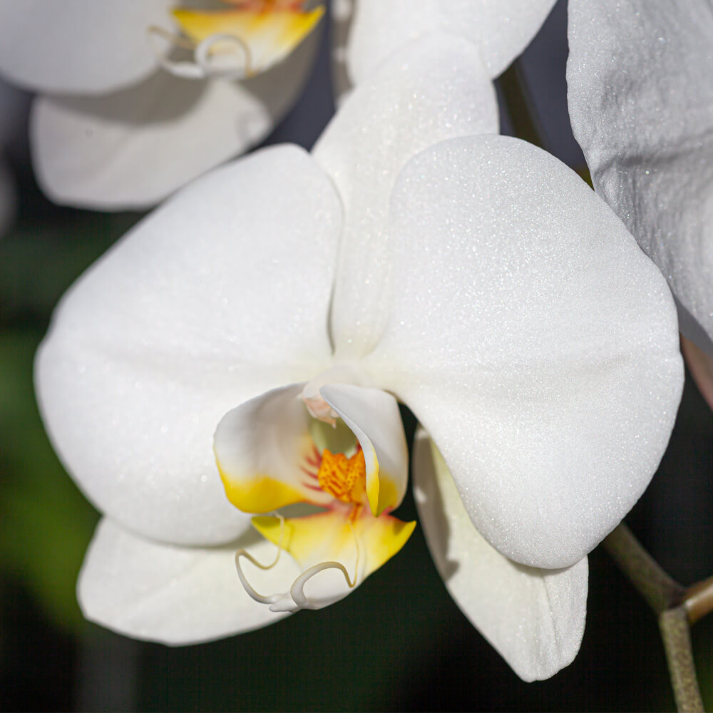鉢植え「大輪胡蝶蘭10本立ち(白)」