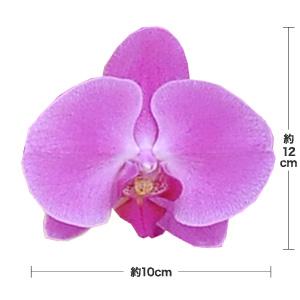 鉢植え「大輪胡蝶蘭20本立ち(ピンク)」