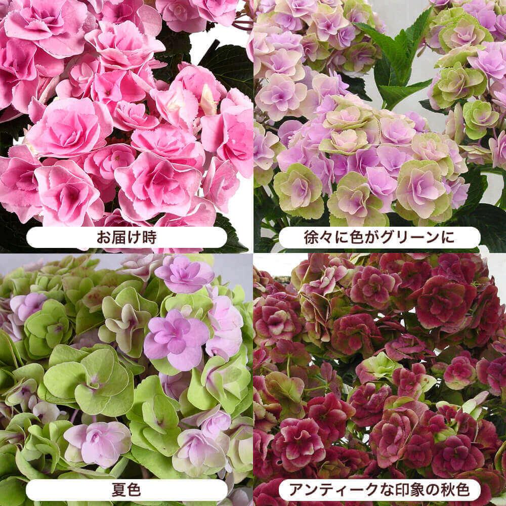 母の日 鉢植え「アジサイ フェアリーアイ〜イイハナ人気NO.1〜」