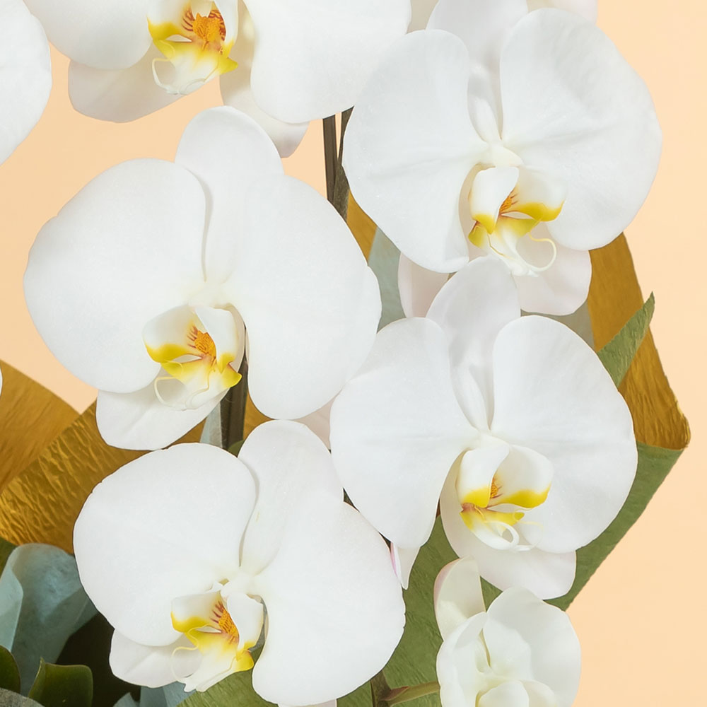 鉢植え「大輪胡蝶蘭2本立ち(白)」