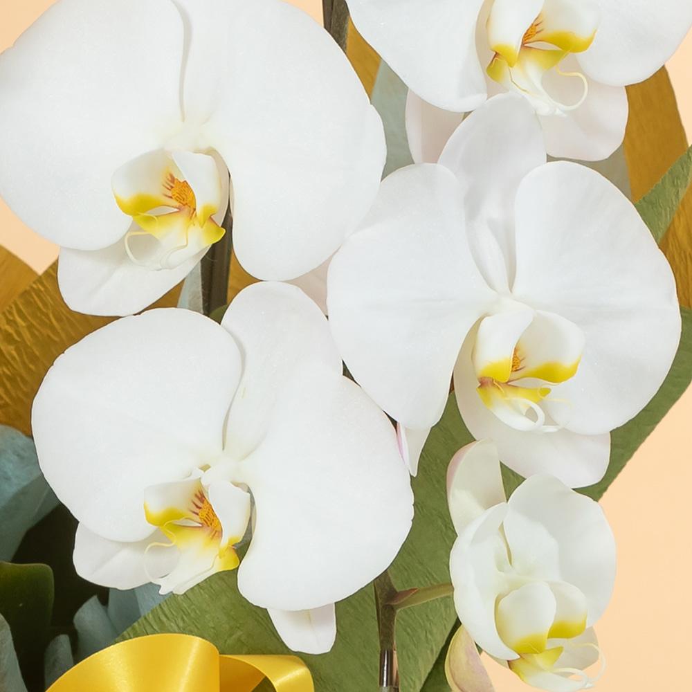 鉢植え「大輪胡蝶蘭3本立ち(紅白)〜スタンダードクラス〜」