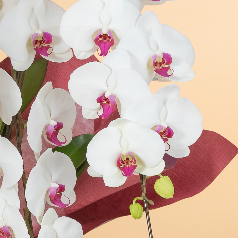 鉢植え「大輪胡蝶蘭5本立ち(赤リップ)〜スペシャルクラス〜」