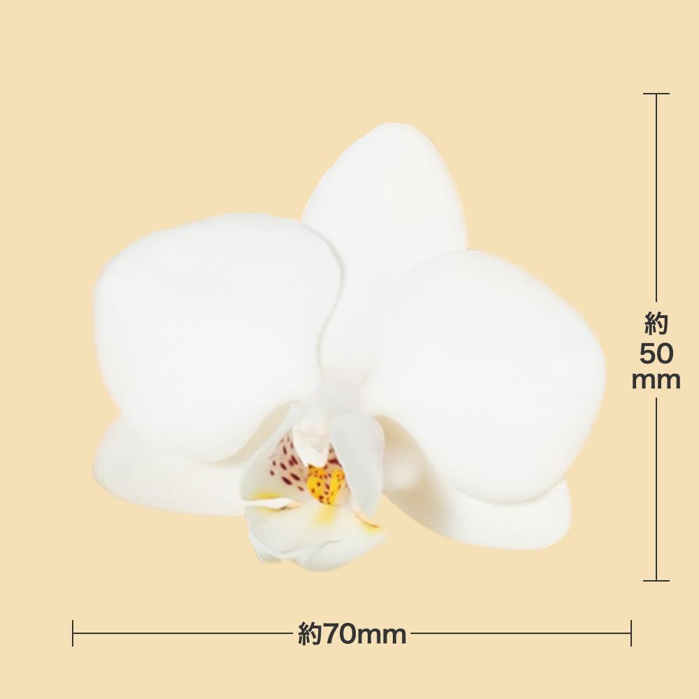 鉢植え「ミディー胡蝶蘭3本立ち(白)」