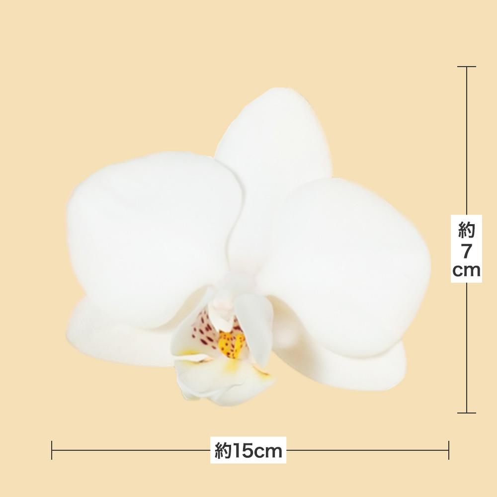 鉢植え「ミディー胡蝶蘭2本立ち(白)」