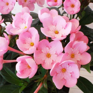 鉢植え「におい桜 ココ〜ワンランク上の上質ギフト〜」サブ画像