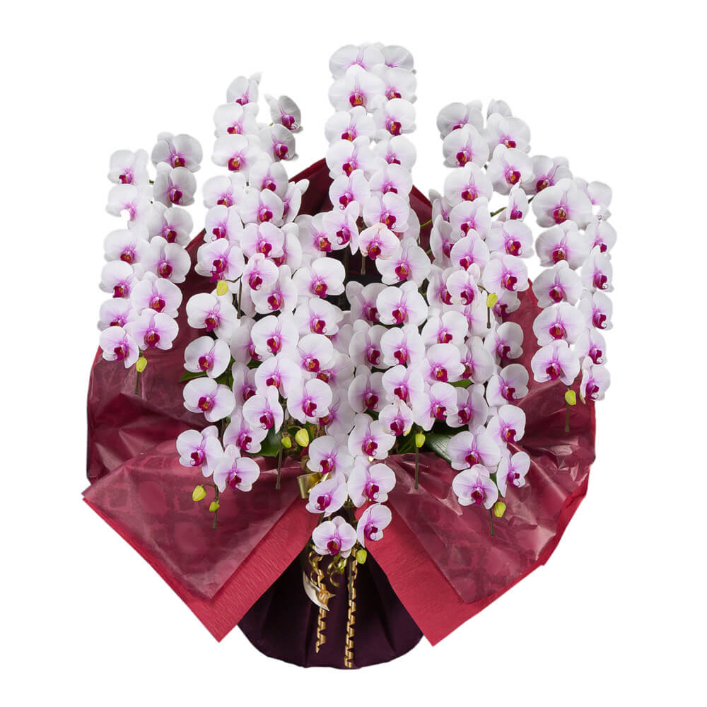 鉢植え「大輪胡蝶蘭10本立ち(赤リップ)」
