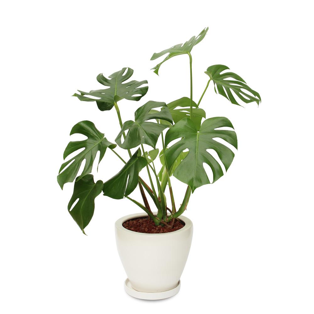 観葉植物「モンステラ8号 陶器鉢」