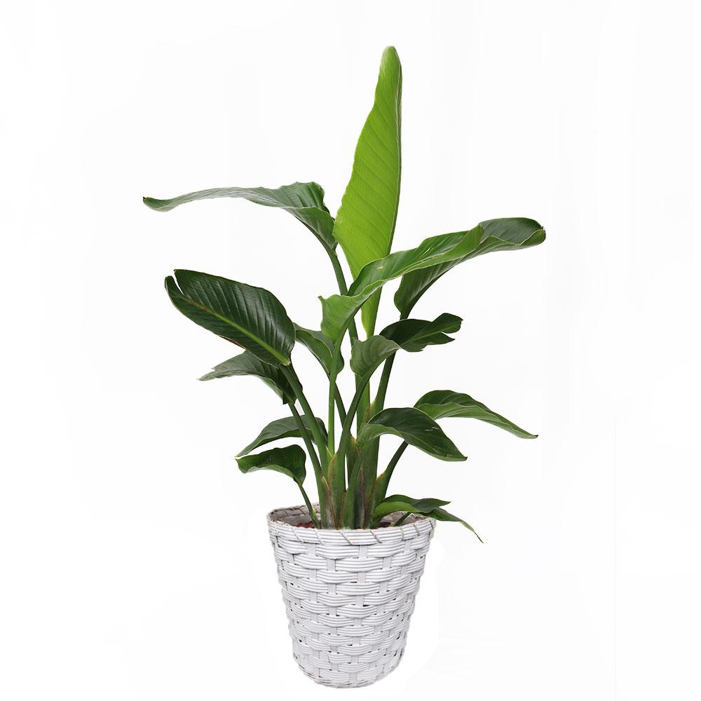 観葉植物「オーガスタ8号 バスケット」