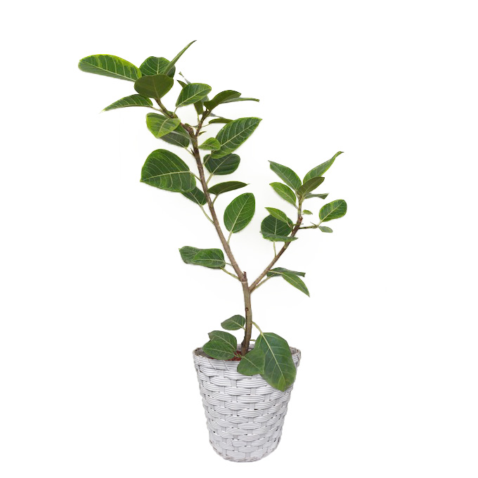観葉植物「フィカス・アルテシマ8号 バスケット」