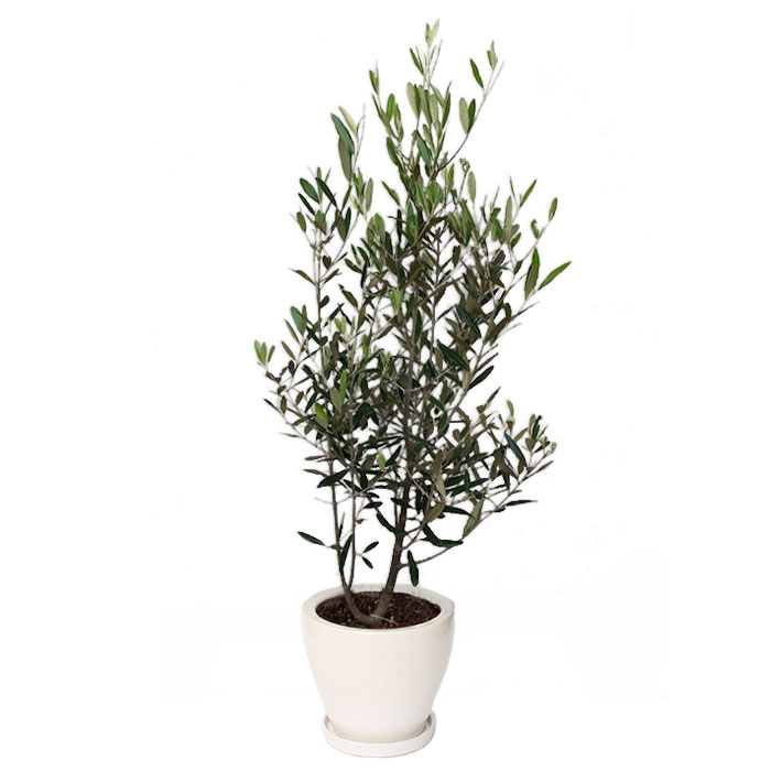 観葉植物「オリーブ8号 陶器鉢」