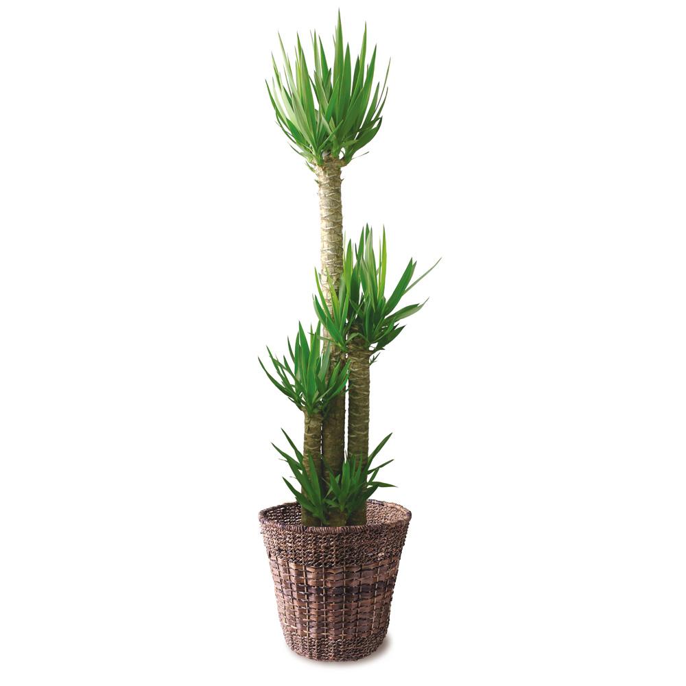 観葉植物「ドラセナ・ユッカ10号 バスケット」