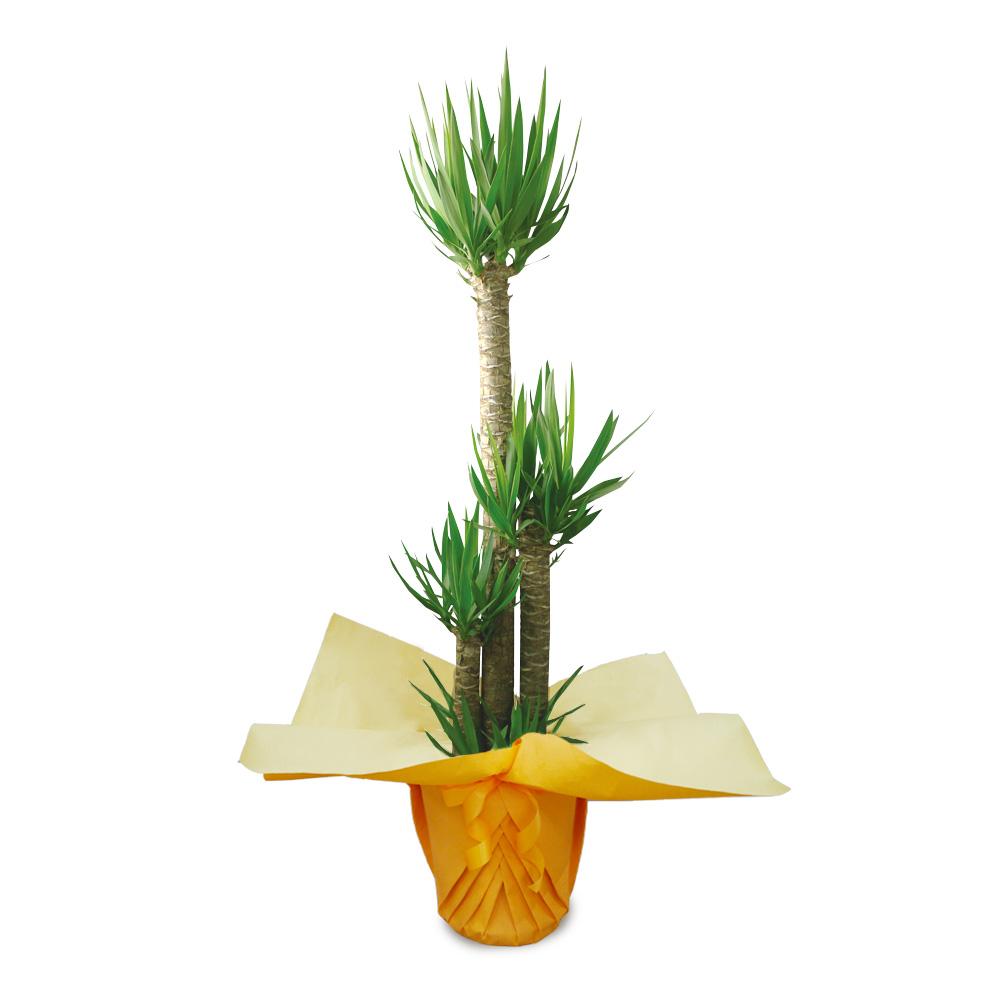 観葉植物「ドラセナ・ユッカ10号 ラッピング」