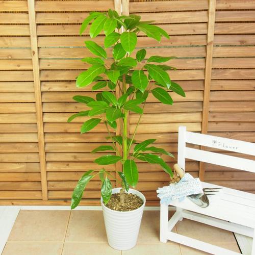 観葉植物「シェフレラ・アルパイン」7号