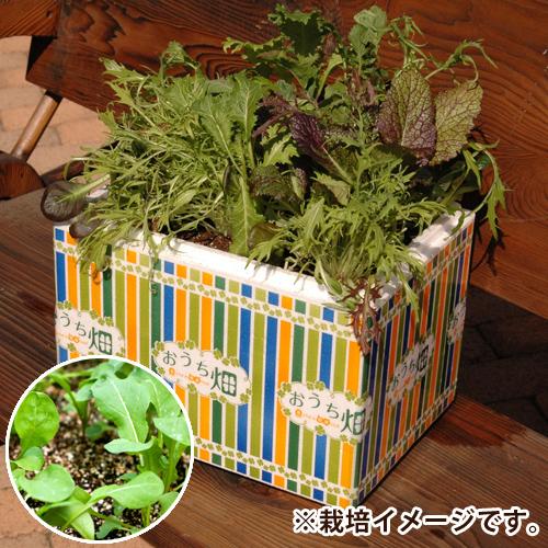 栽培キット「おうち畑〜ルッコラ〜」
