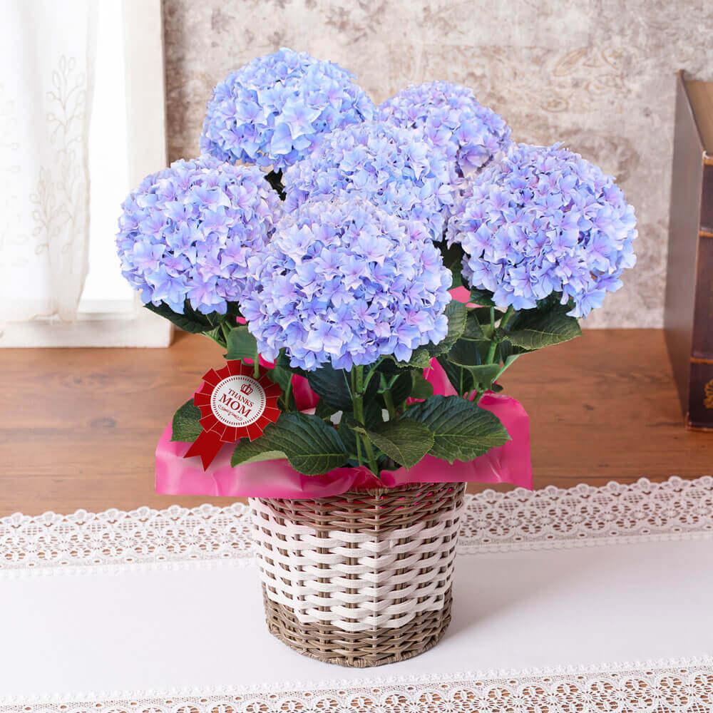 母の日 花 ギフト 鉢植え「アジサイ シャロン」