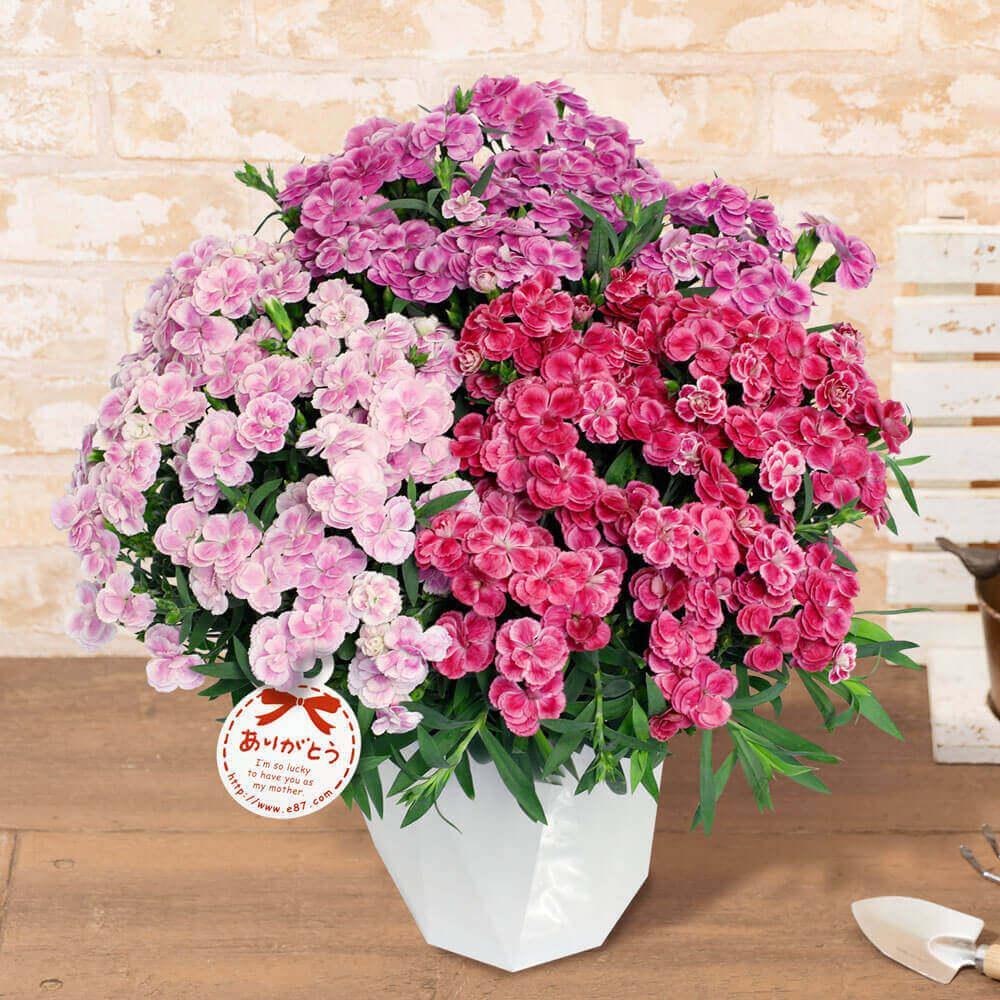 e87.com(千趣会イイハナ)母の日 花 ギフト 鉢植え「プレミアムカーネーション ミックススイーツ」